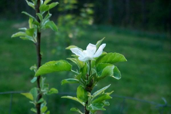 s-apple-blossom-2010-04-10-1.JPG