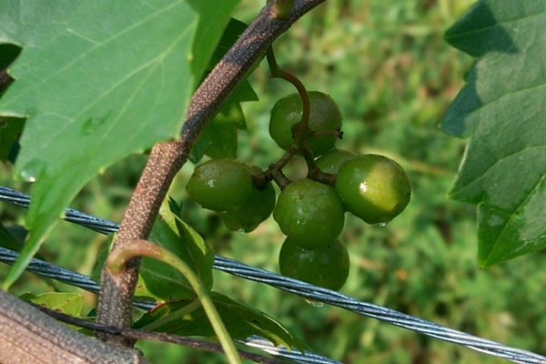rain-on-grapes-1.JPG