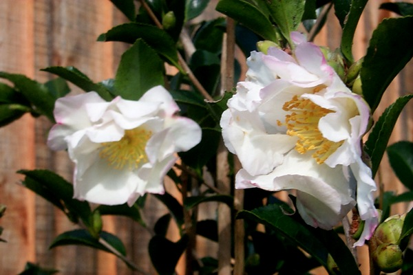 camellia-2.JPG