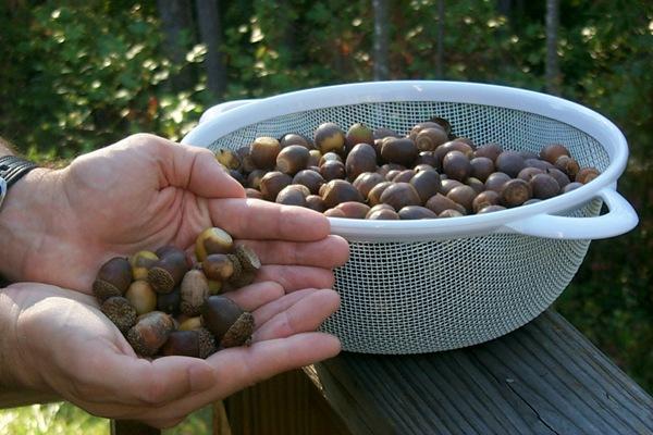 jm-with-acorns-1.JPG