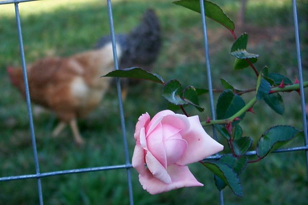 last-roses-1.JPG