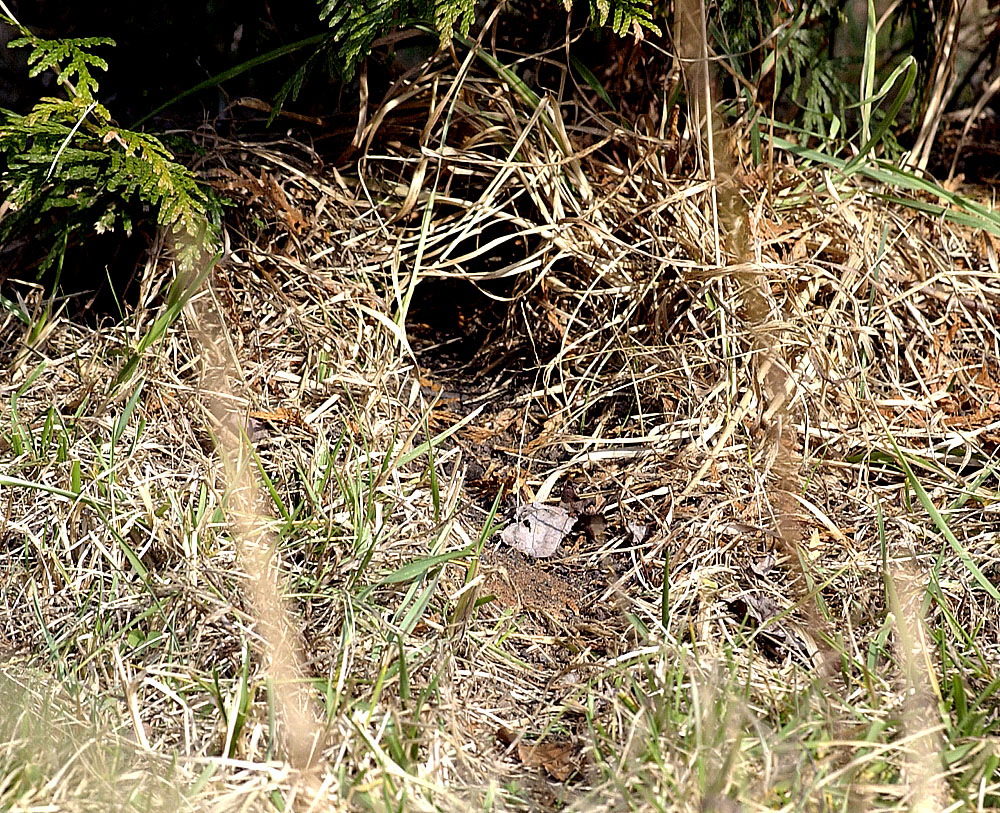Into the woods vole control - Volle trap ...