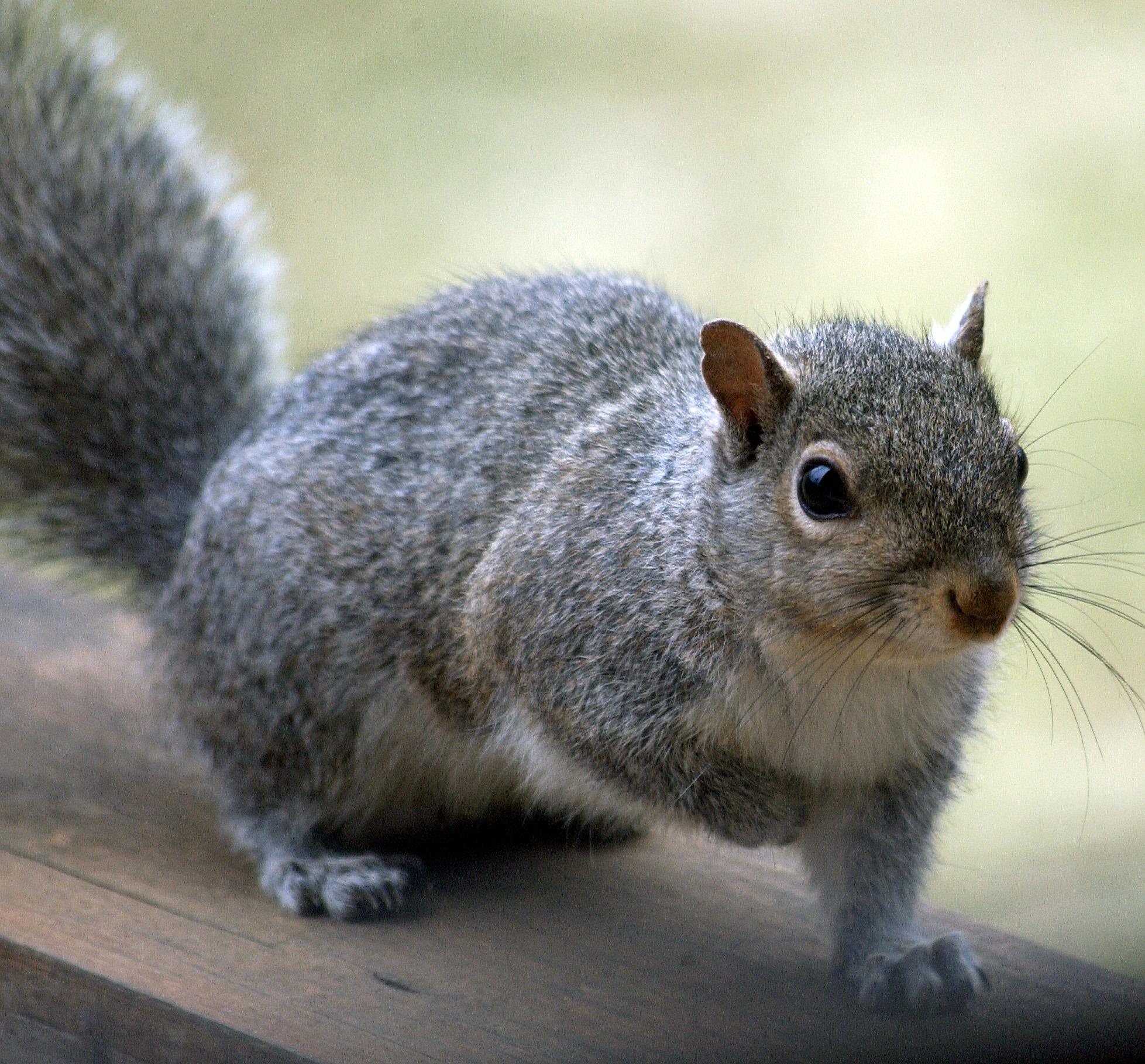 squirrel-1-1