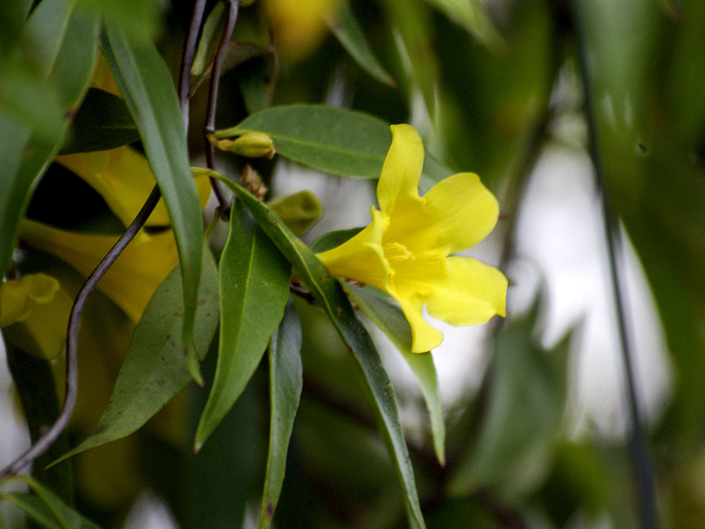 how to make carolina jasmine bloom