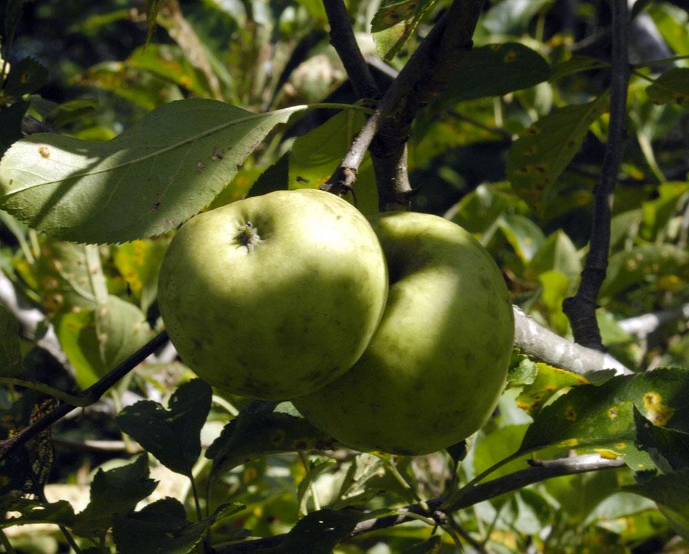A-apple-2