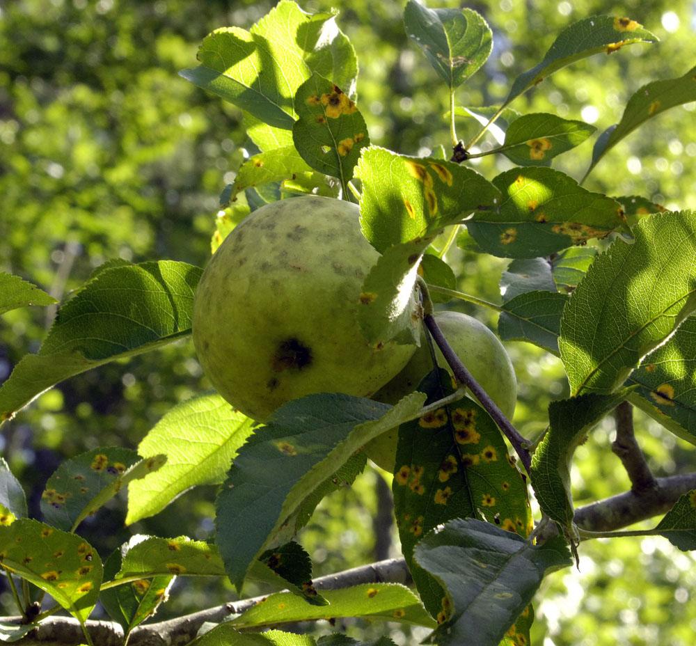 A-apple-3