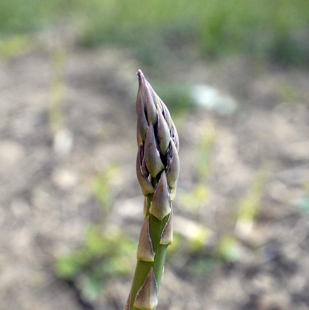 A-asparagus-1
