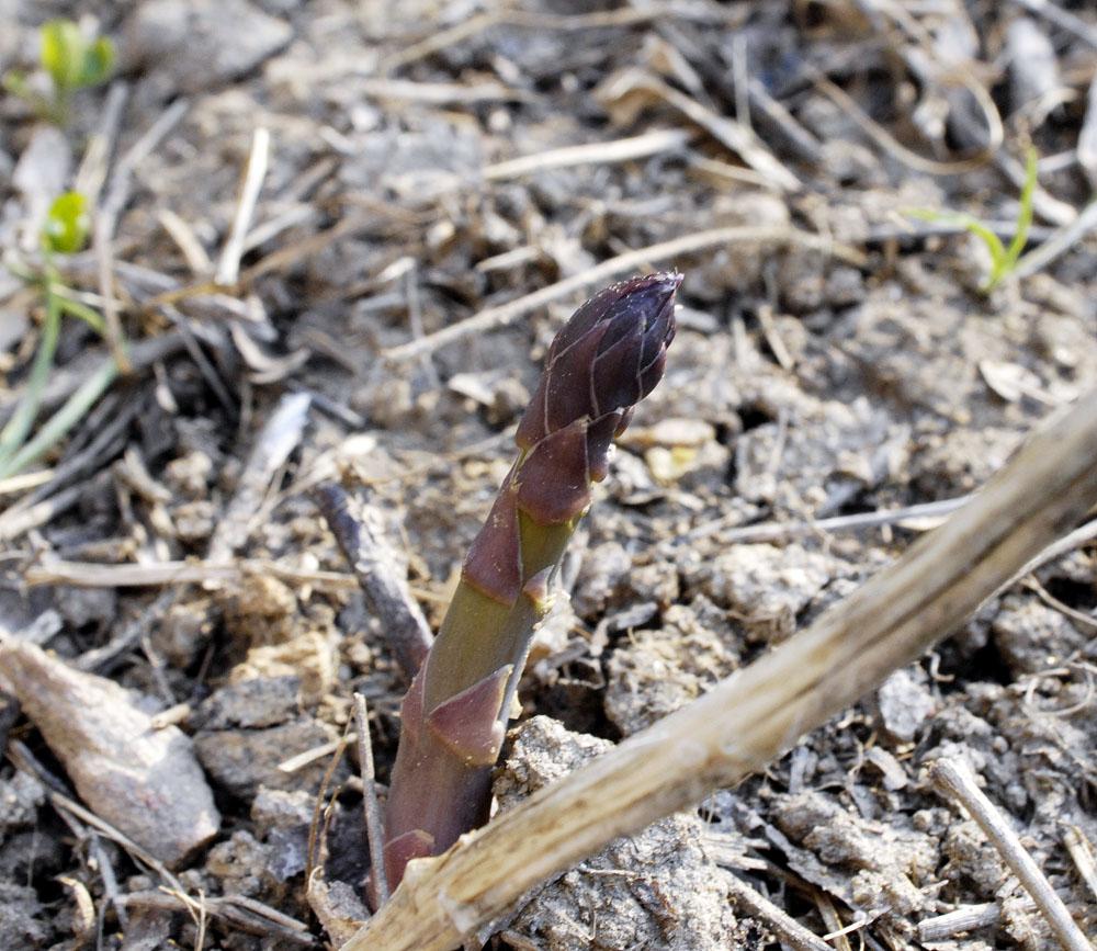 A-asparagus-2