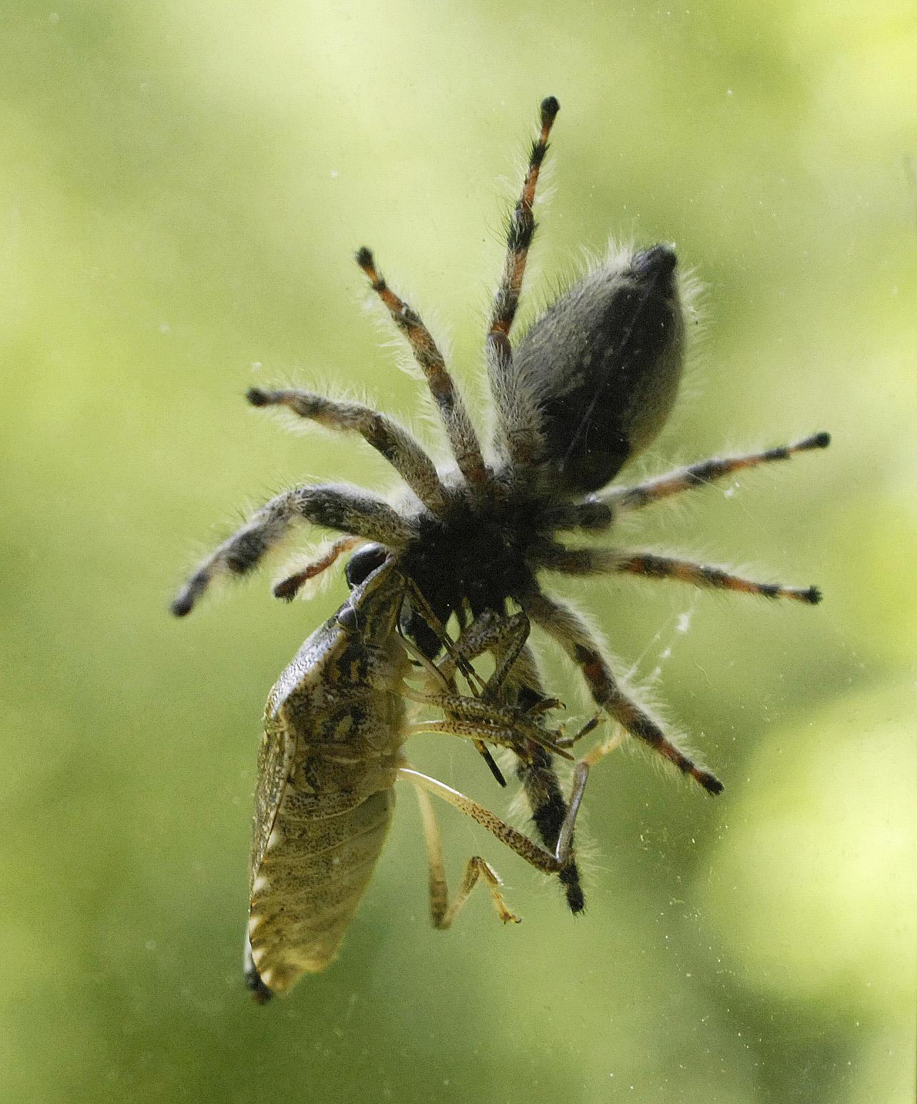 spider-stinkbug