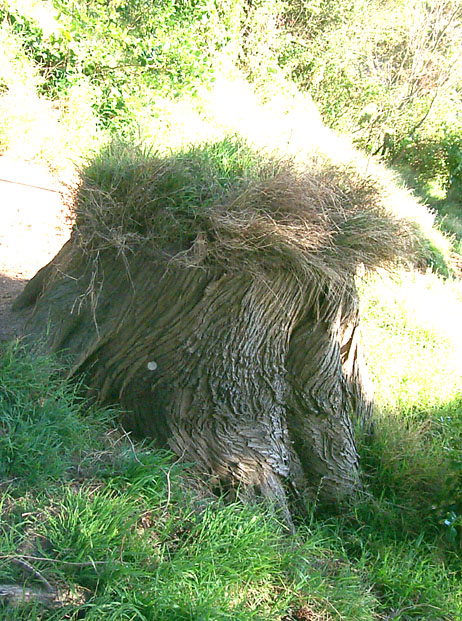 hairy-stump-2w.jpg