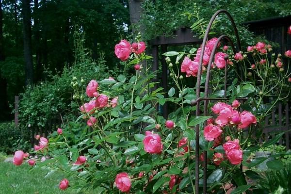 w-m17-01-mamas-roses.JPG