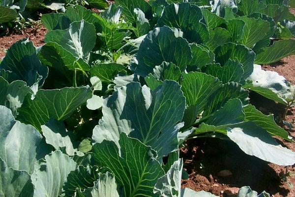 w30-cabbage-623.JPG