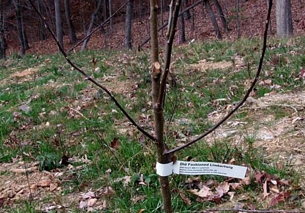 sappletree-11-22.JPG