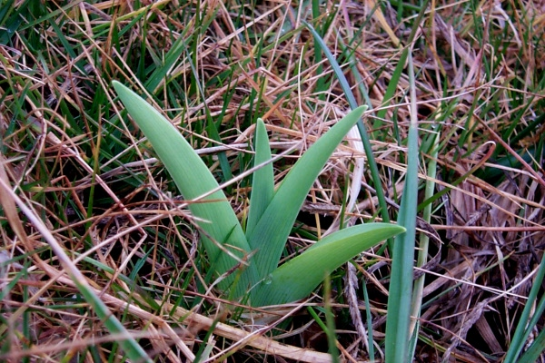 a-young-daylily-2009-02-27.JPG