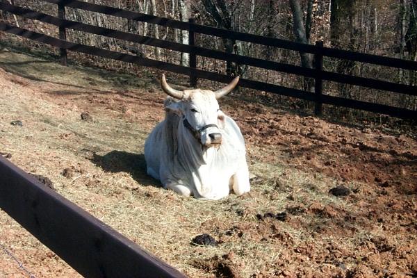 cow-2009-03-24.JPG
