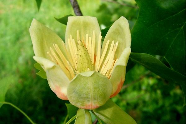 b-tulip-poplar-2009-02.JPG