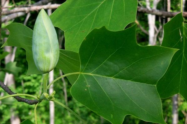 b-tulip-poplar-2009-04.JPG