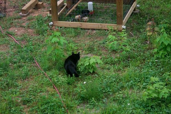 c-chickens-2009-05-03-7.JPG