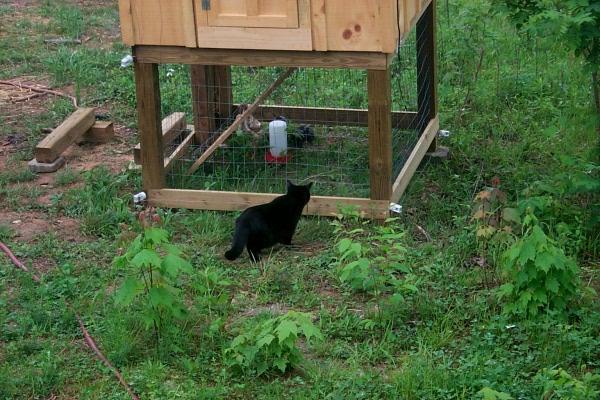 c-chickens-2009-05-03-9.JPG