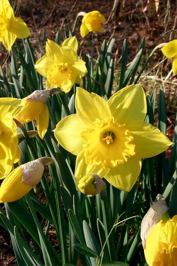 a-daffodils-2010-03-19-1.JPG