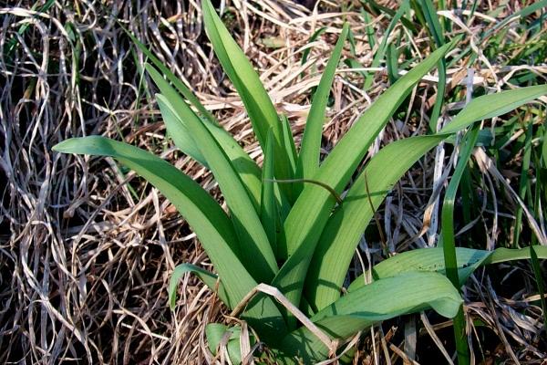 a-daffodils-2010-03-19-2.JPG