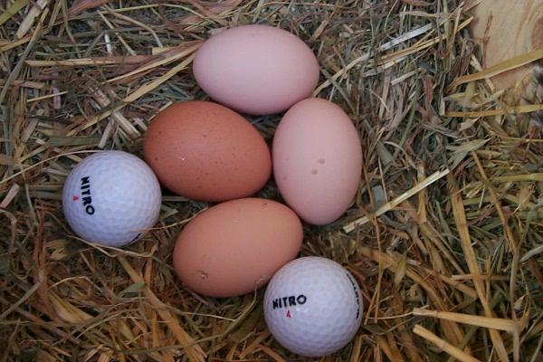 c-chickens-2010-03-04-2.JPG