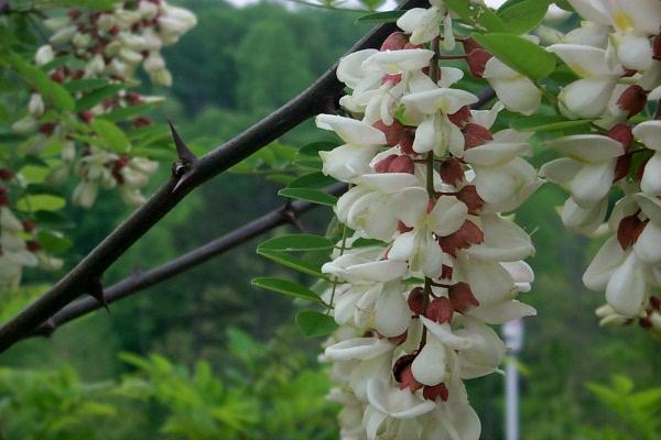 a-locust-thorns-2010-05-1.JPG