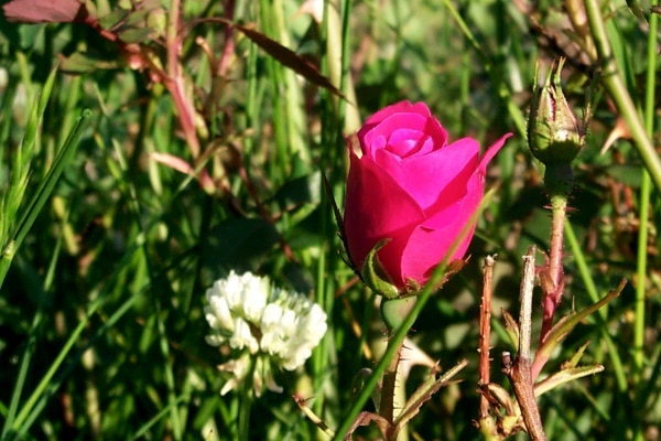 a-first-rose-2010-05-1.JPG