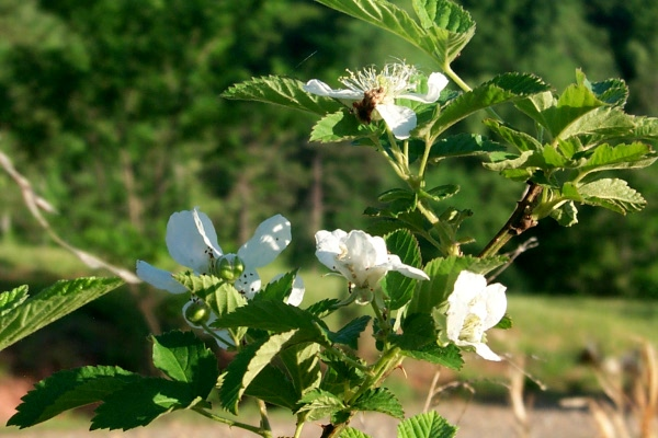 a-first-rose-2010-05-2.JPG