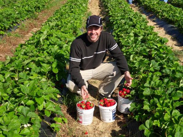 a-strawberries-2010-05-2a.JPG