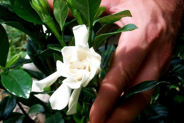 aa-gardenia-1.JPG