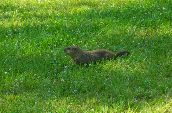 mr-groundhog-2.JPG