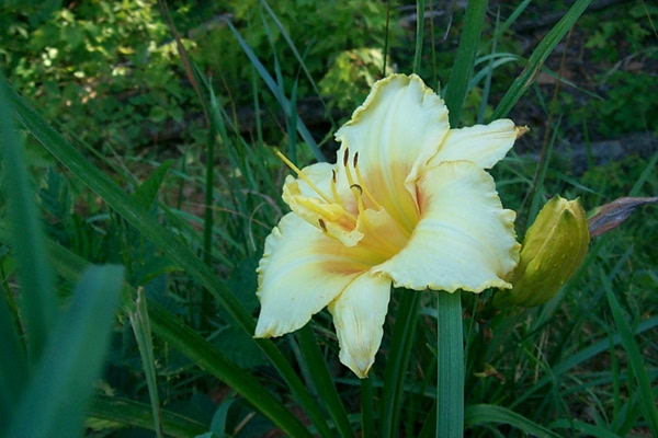 s-yellow-day-lily-1.JPG