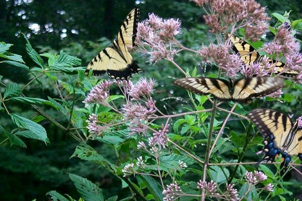 milkweed-butterflies.JPG