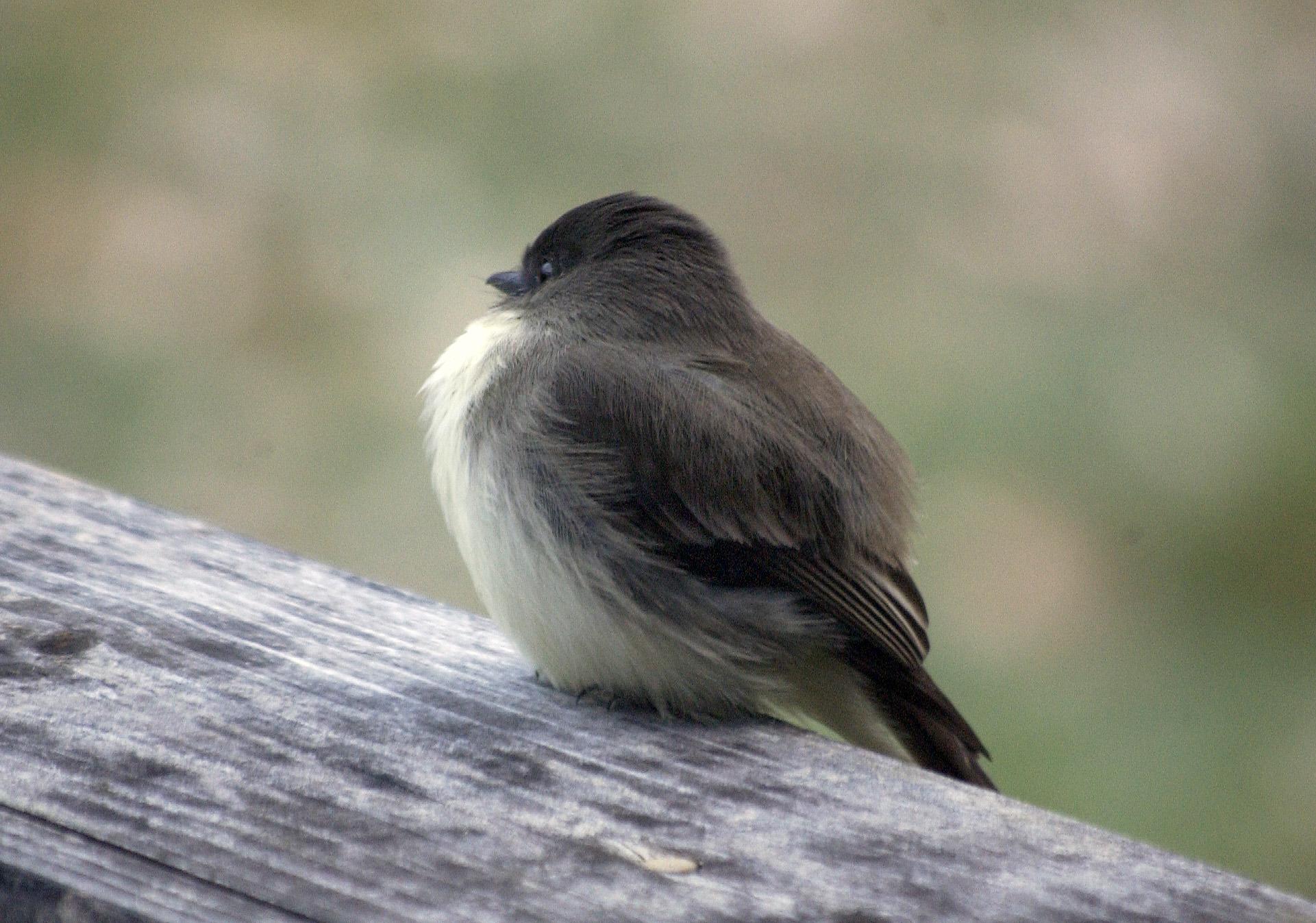 chilly-bird-1
