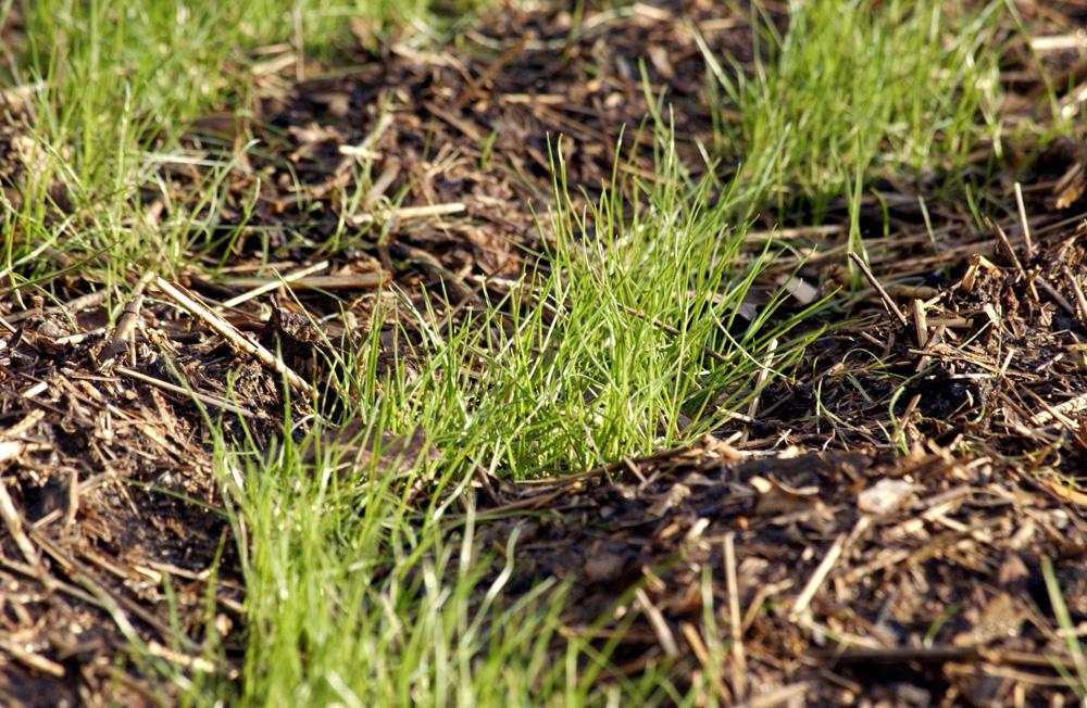 rye-grass-1