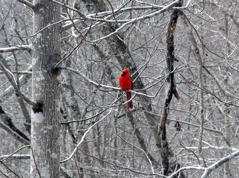 B-cardinal-102