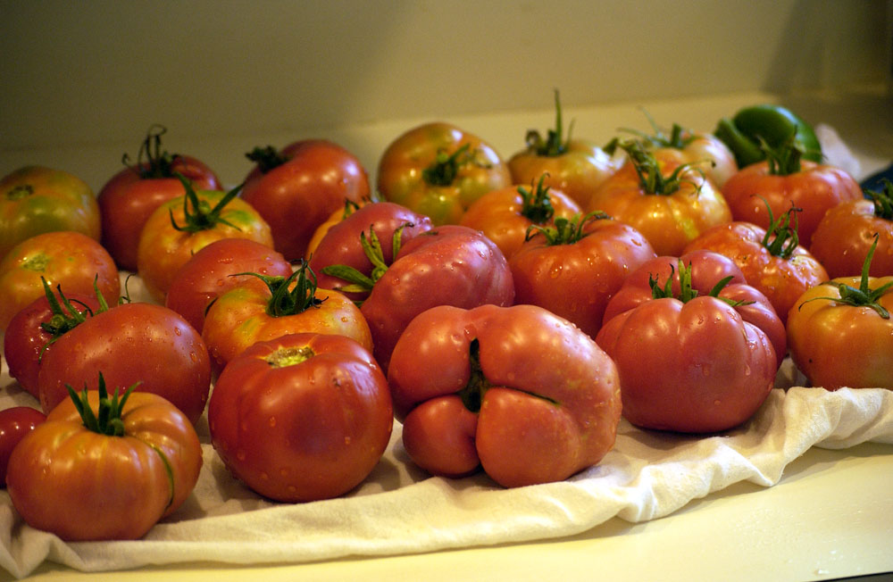 A-new-tomatoes-1