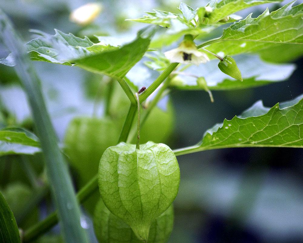 A-lantern-plant
