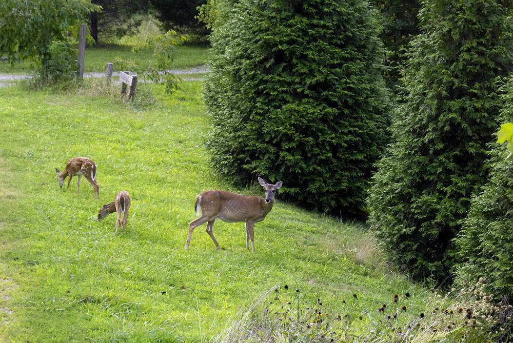 A-deer-family
