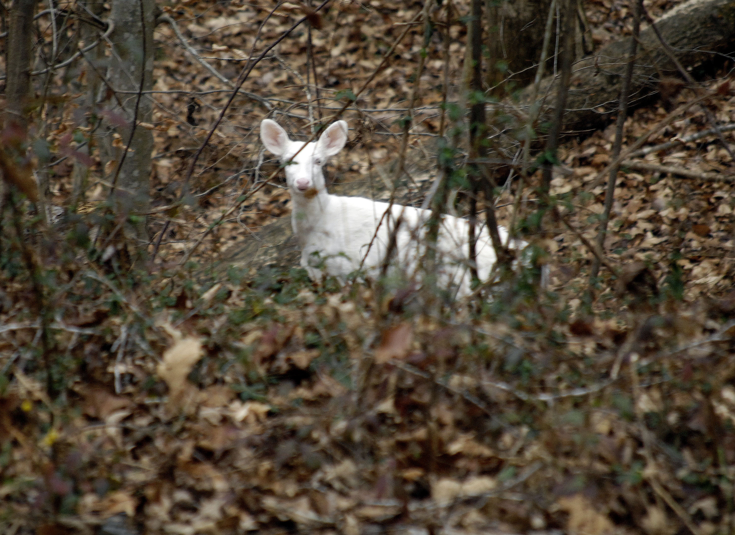 white-deer