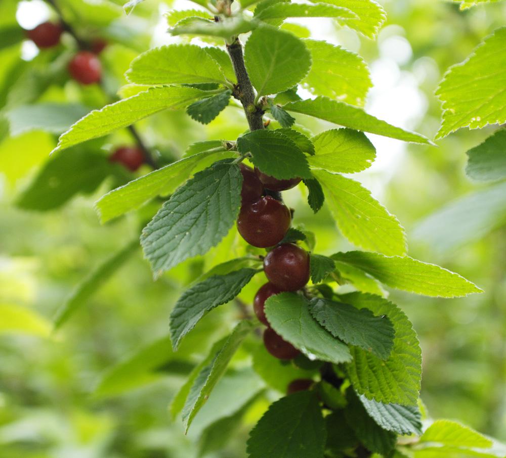 S-cherries-2