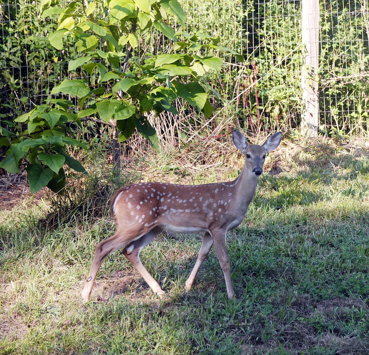 D-deer-1