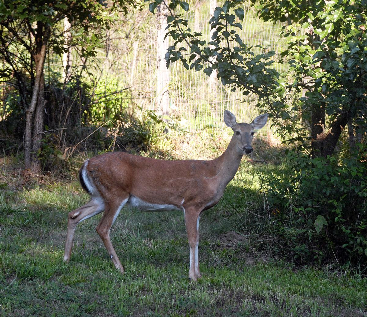 D-deer-2